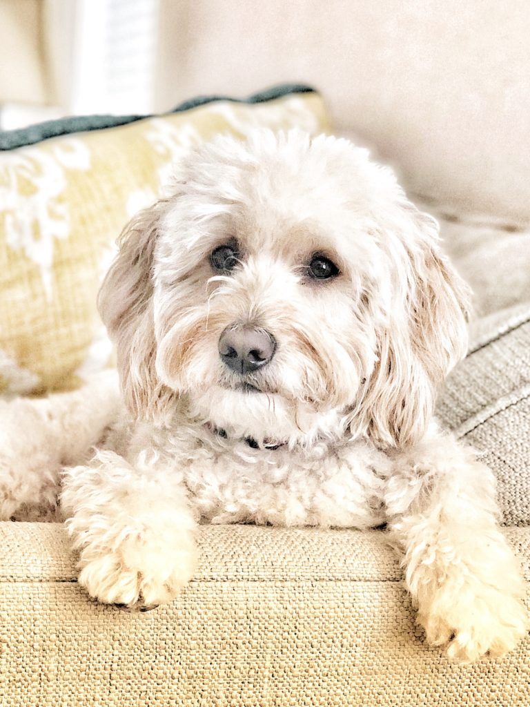 Abby - Retired Regal Doodles mini Goldendoodle mom