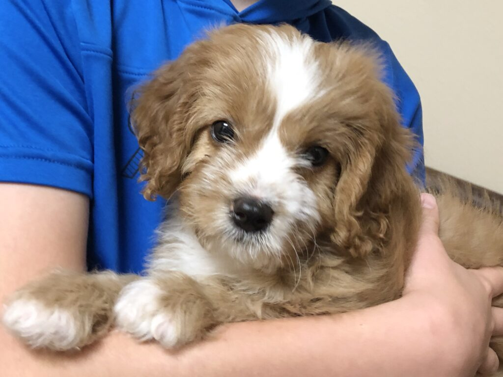 Billie Jean is a F1 mini Cavapoo puppy